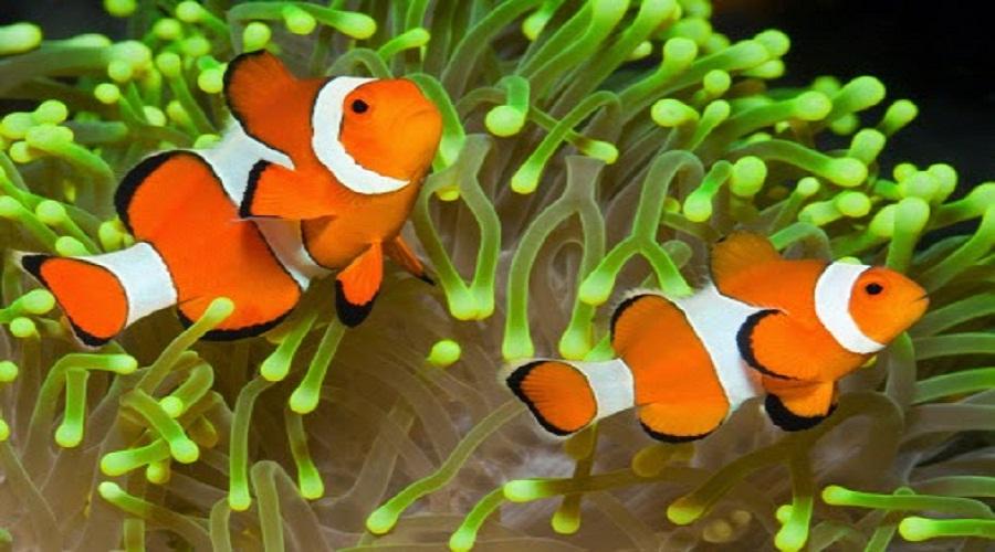 Menyelam Bersama Ikan Nemo Di Pulau Tikus
