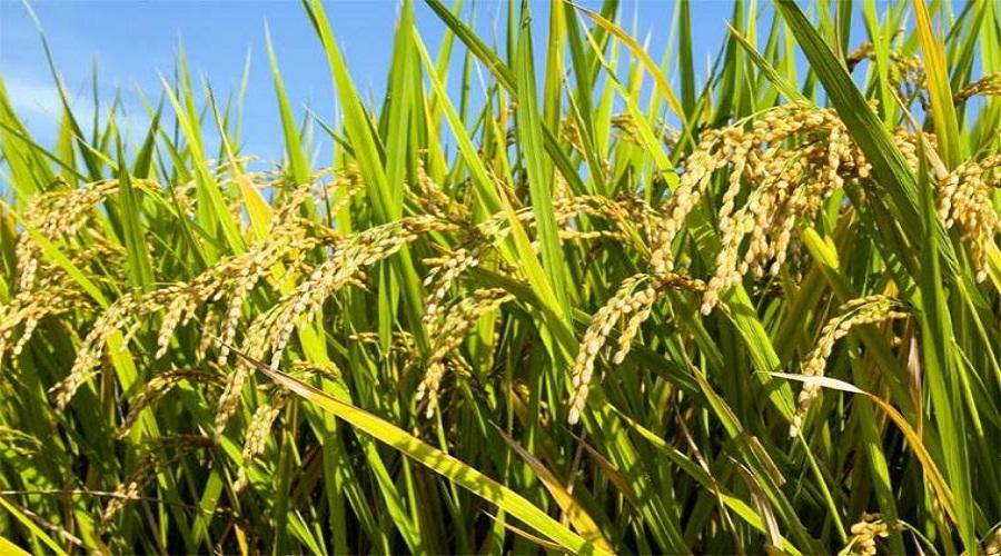 Dampak Elnino Produksi Padi Sulawesi Selatan Terganggu