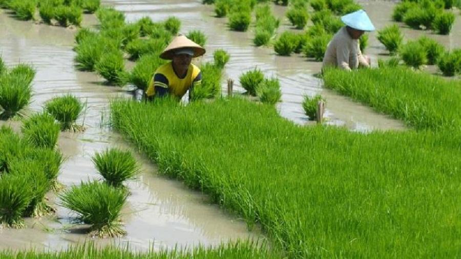 Dinas Pertanian Optimis Target Tanam Bisa Tercapai