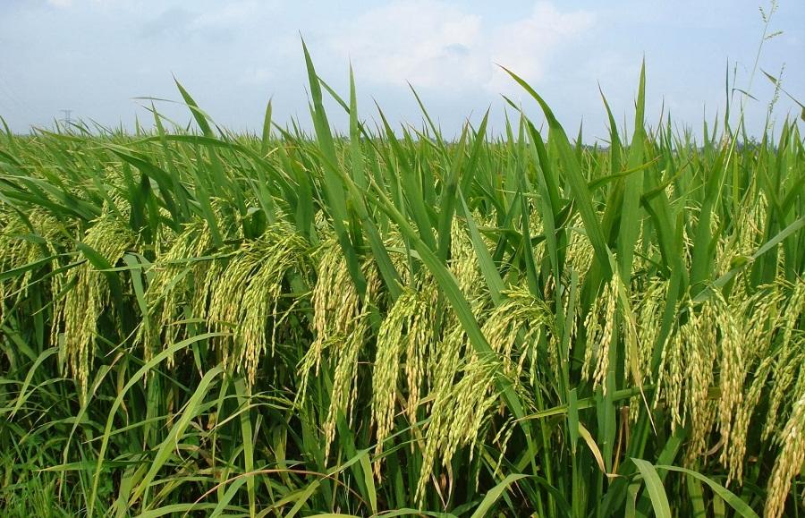 Komentar Dinas Pertanian Sulsel terkait Peralihan fungsi lahan
