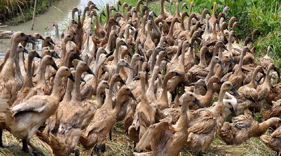 Flu Burung Serang Ternak di Kabupaten Sidrap